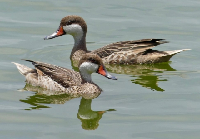 White-cheeked Pintail ducks