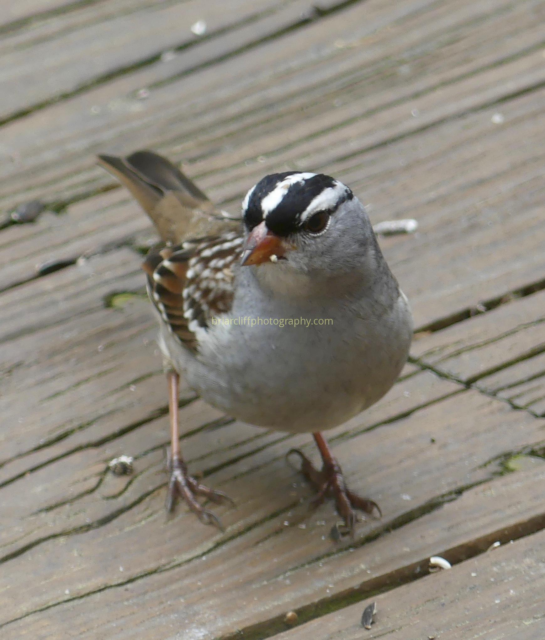 Male white-crowned sparrow