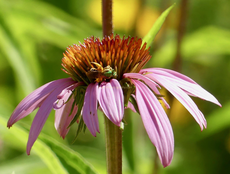 pollination, echinacea