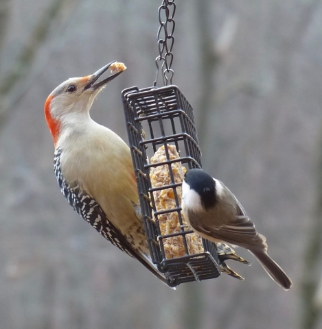 red-bellied woodpecker, chickadee