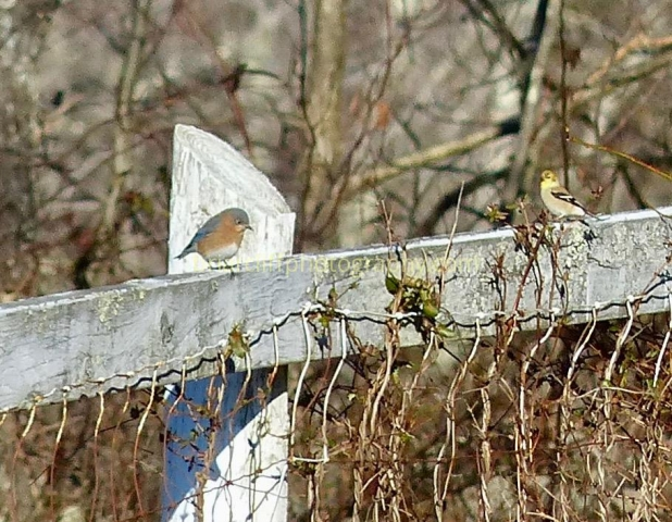 Eastern bluebird, American goldfinch