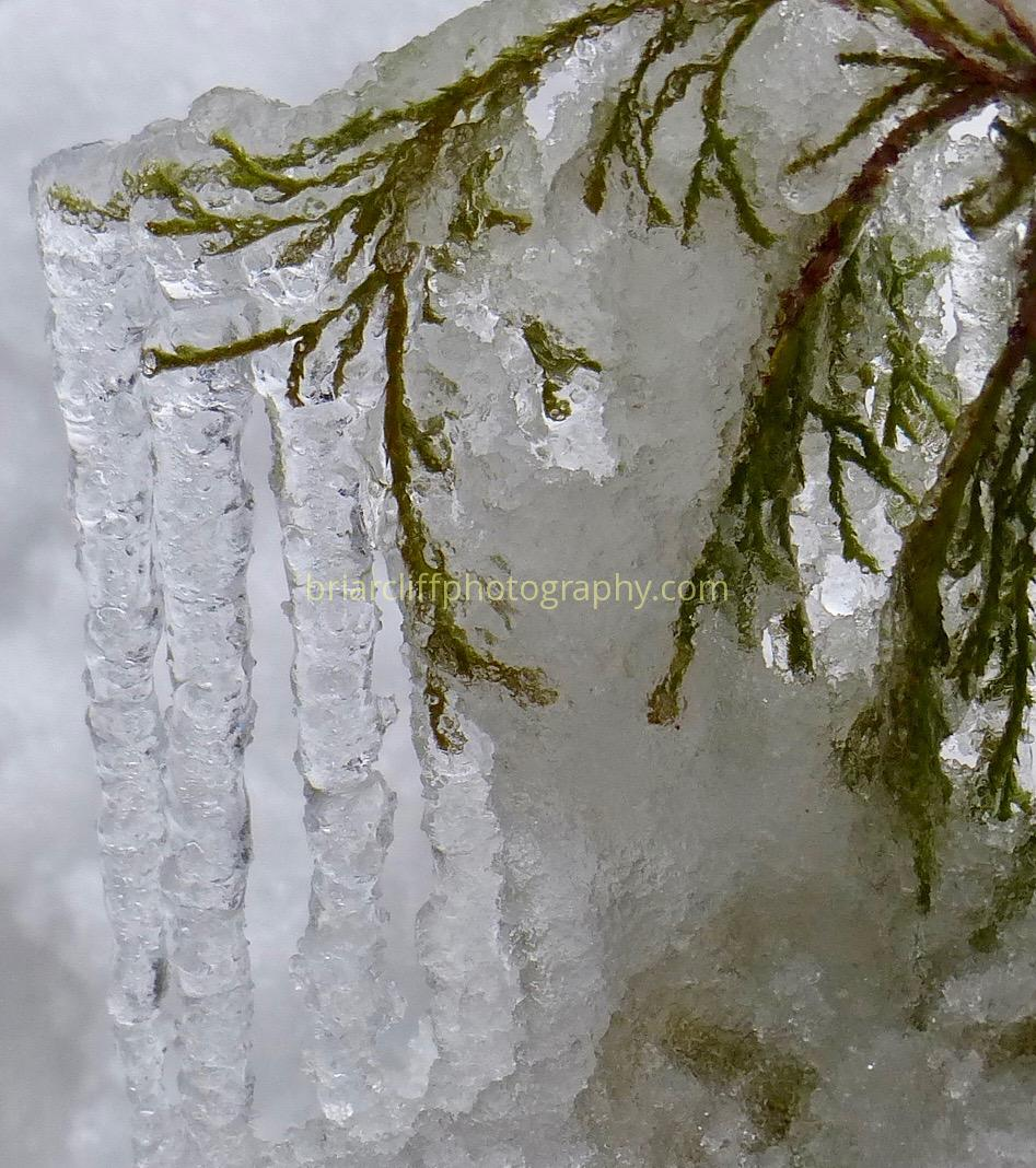 Tree branches, ice