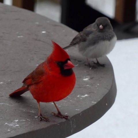 Male cardinal, dark-eyed junco