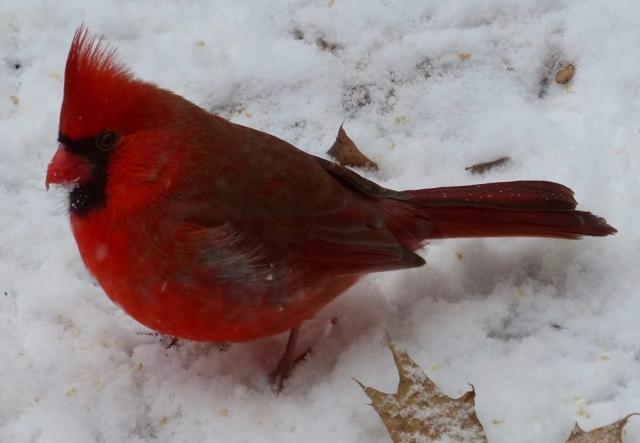 male cardinal, snow