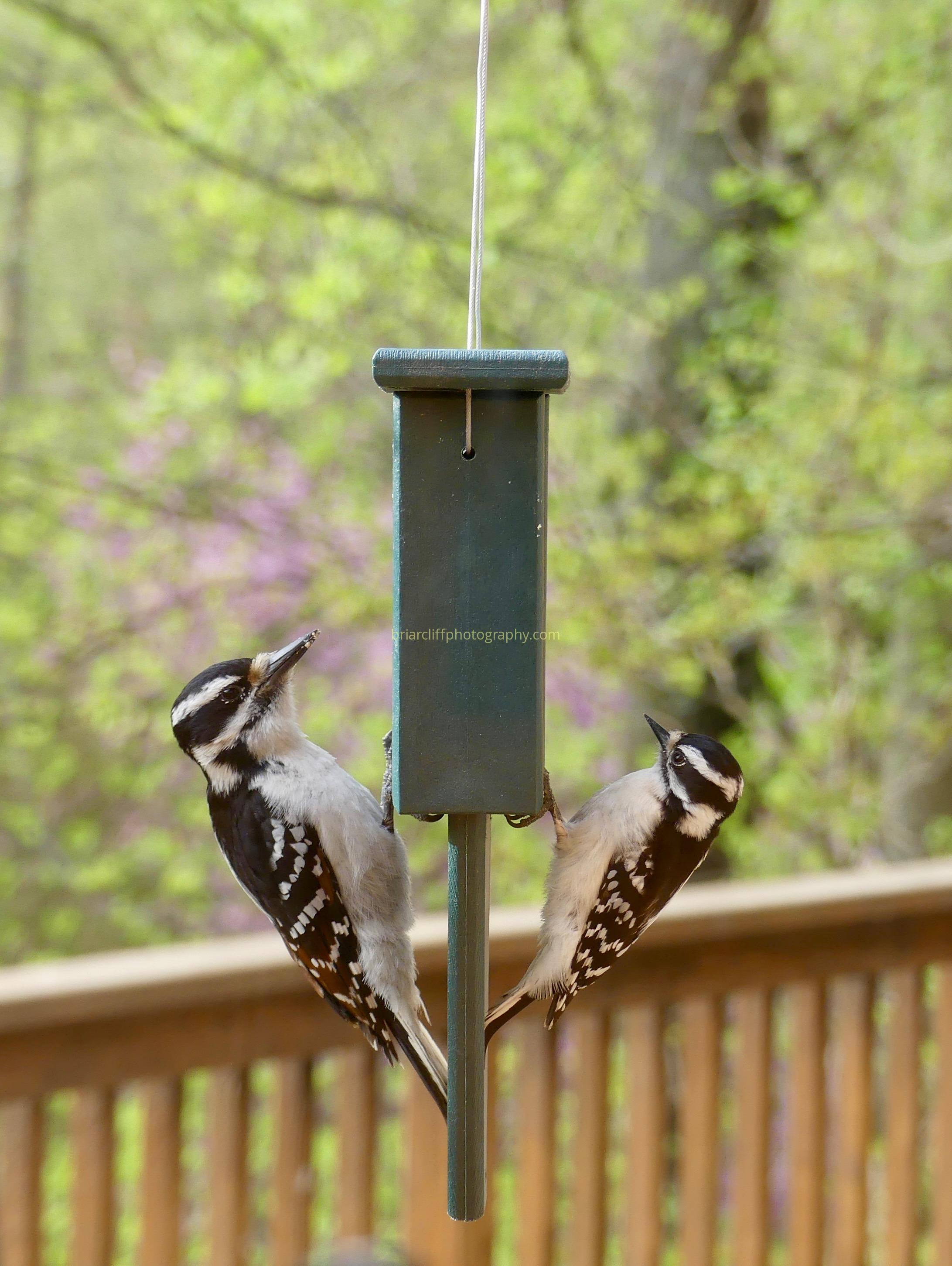 downy woodpecker, hairy woodpecker