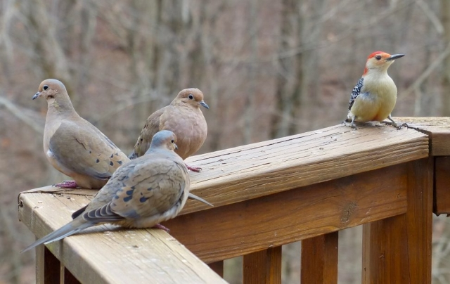 mourning doves, red-bellied woodpecker