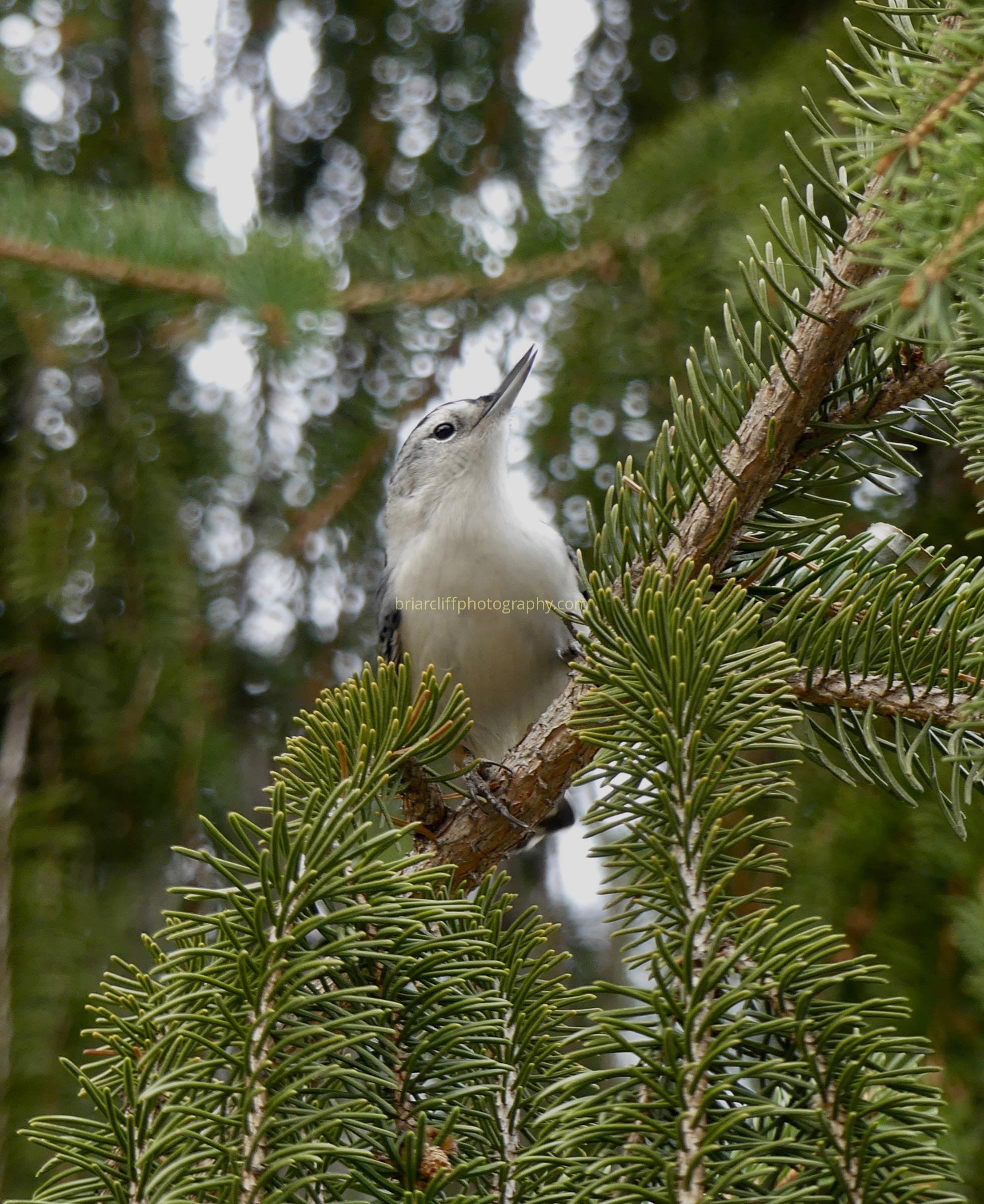 nuthatch in tree