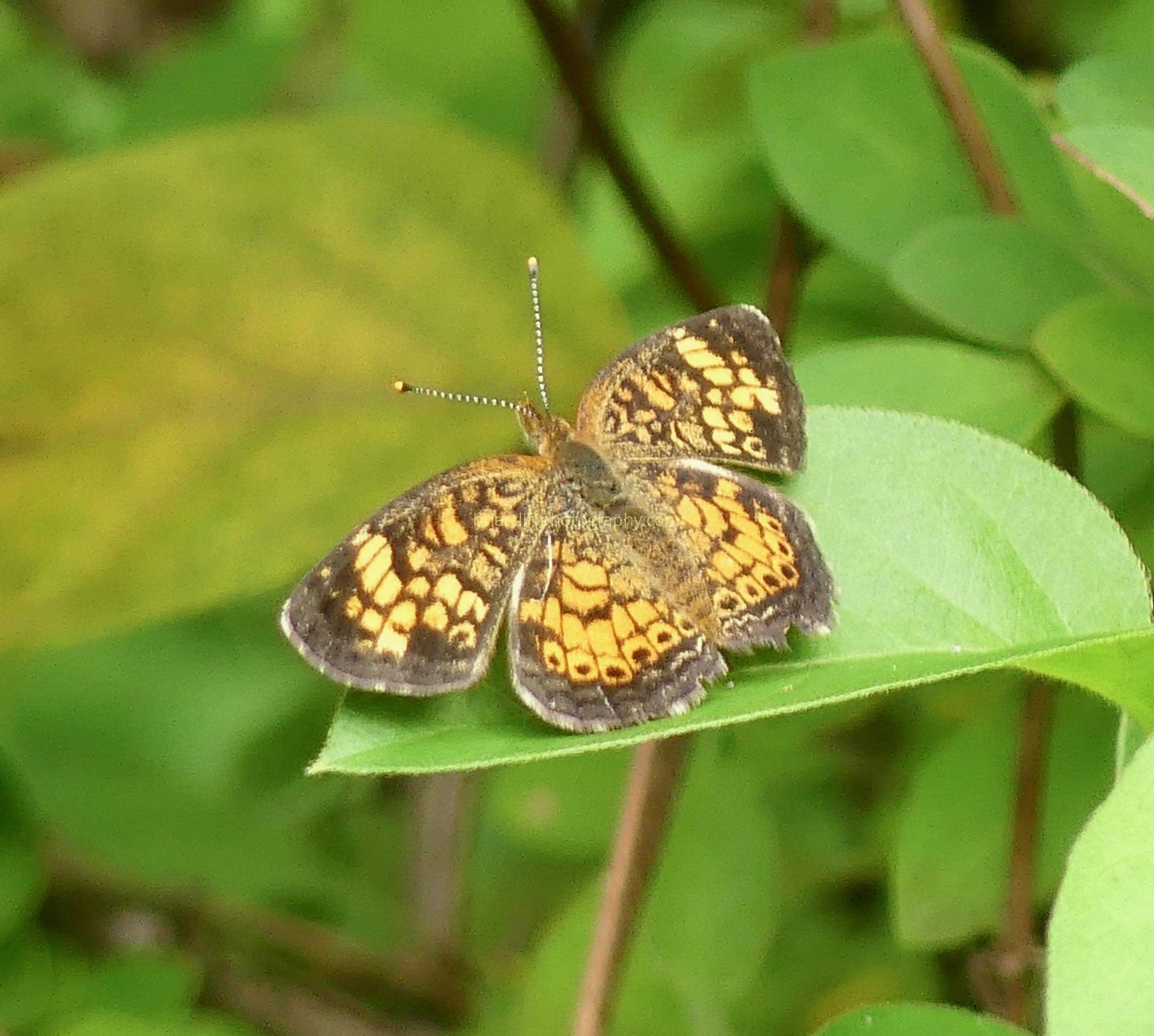 Orange crescent butterfly