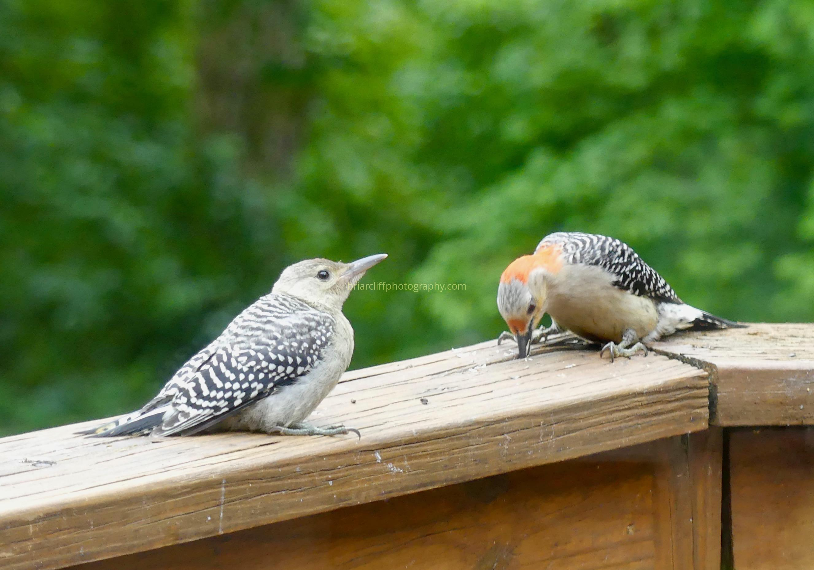 Parent and juvenile red-bellied woodpecker