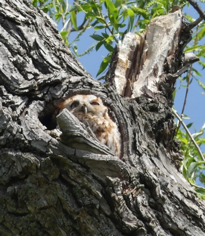 eastern red morph screech owl