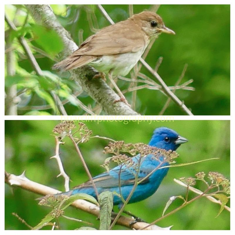 Veery and Indigo Bunting