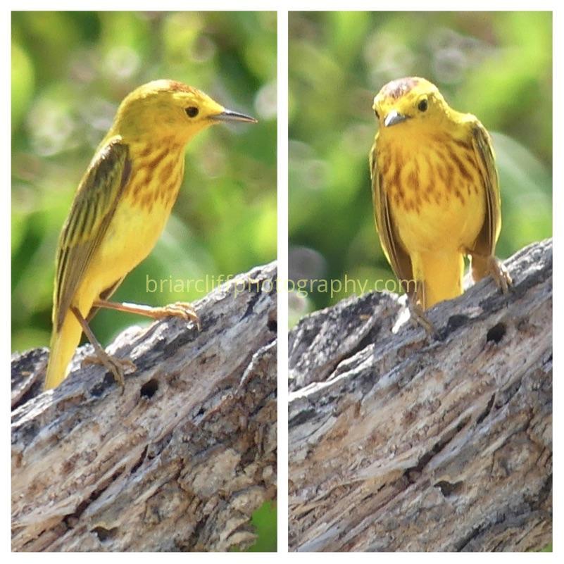 Yellow Warbler Bonaire