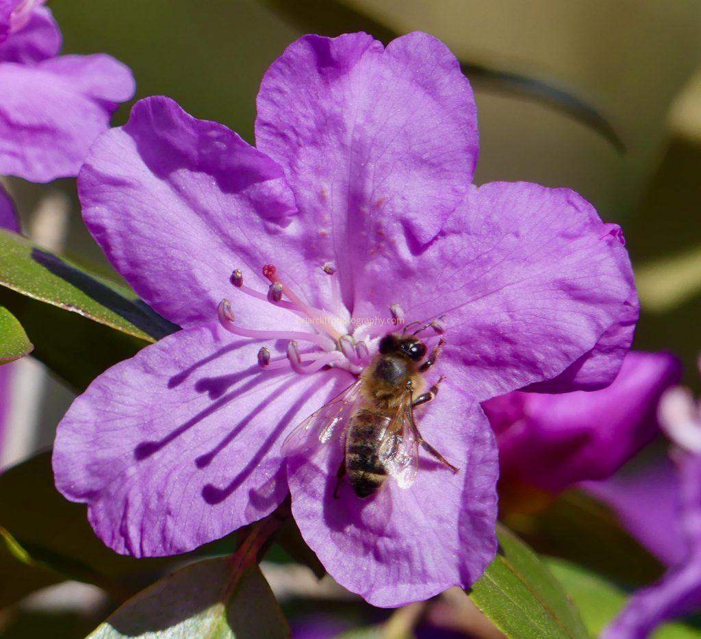 Bee on purple azalea