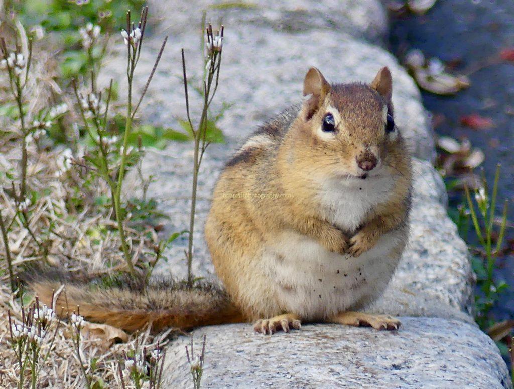 chunky chipmunk