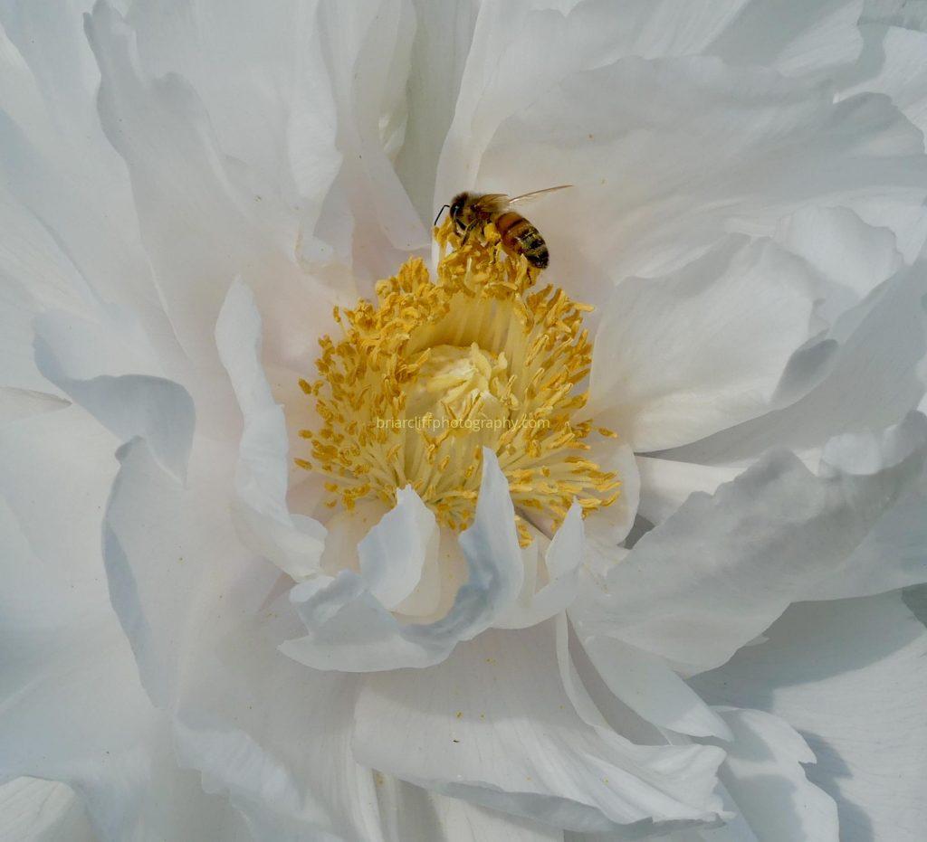 Bee on white peony