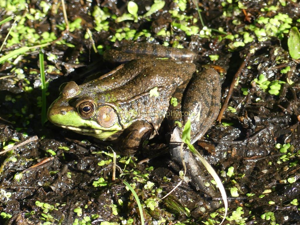 Well-camouflaged frog