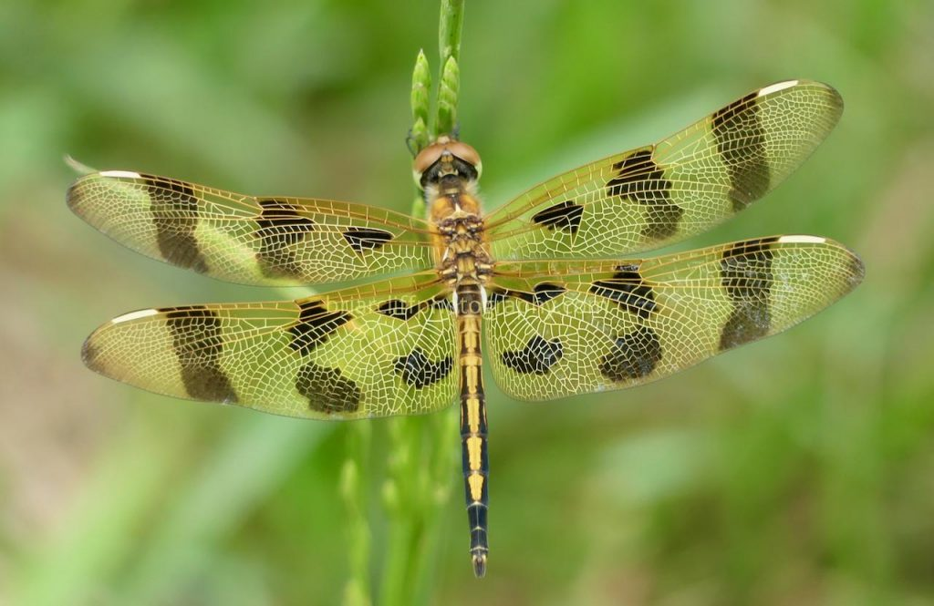 Female Halloween Pennant dragonfly