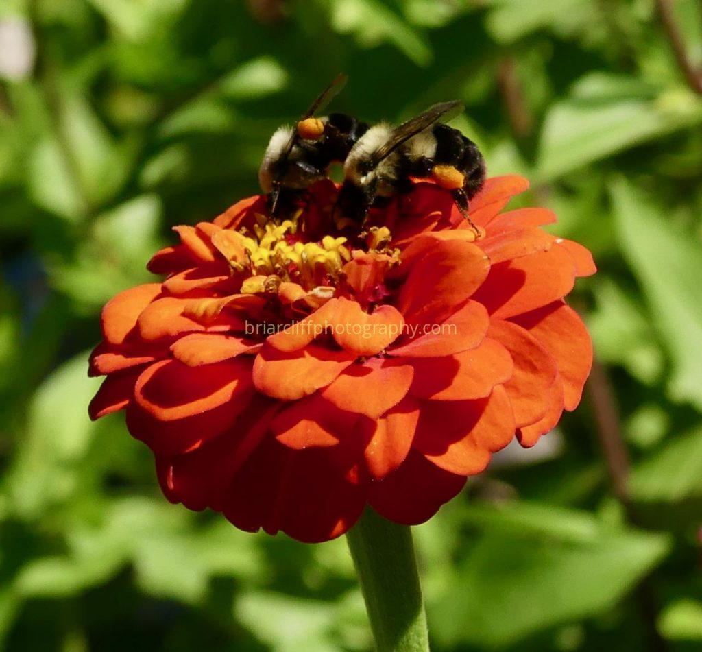 Bees on red zinnia