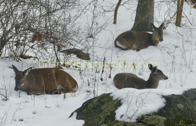 3 deer napping