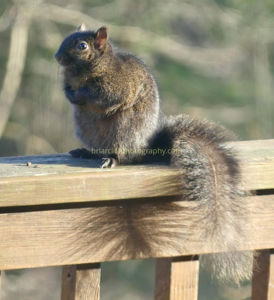 Squirrel with tail shadow