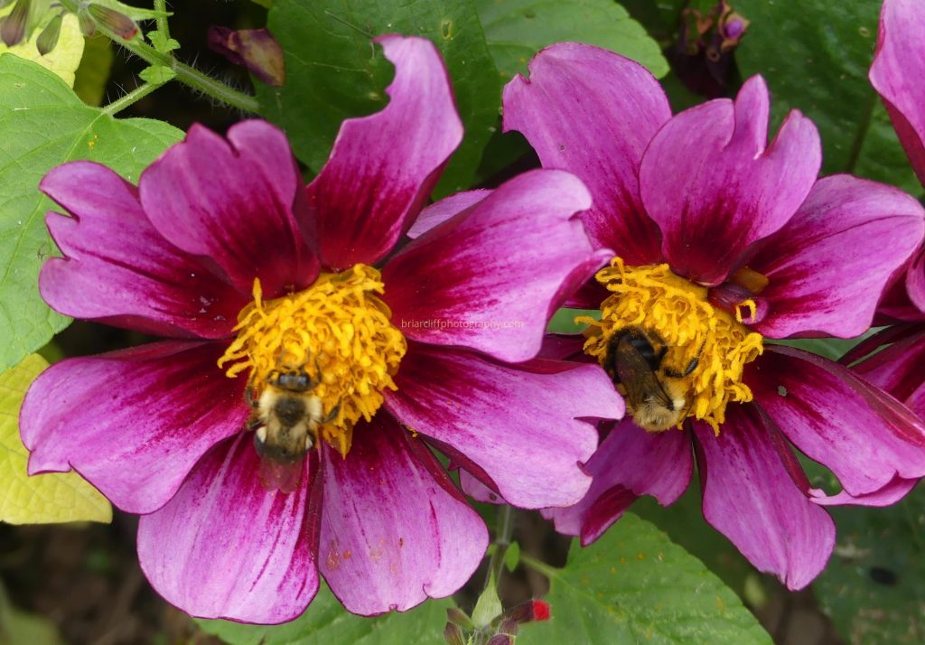 Bumble bees on peonies