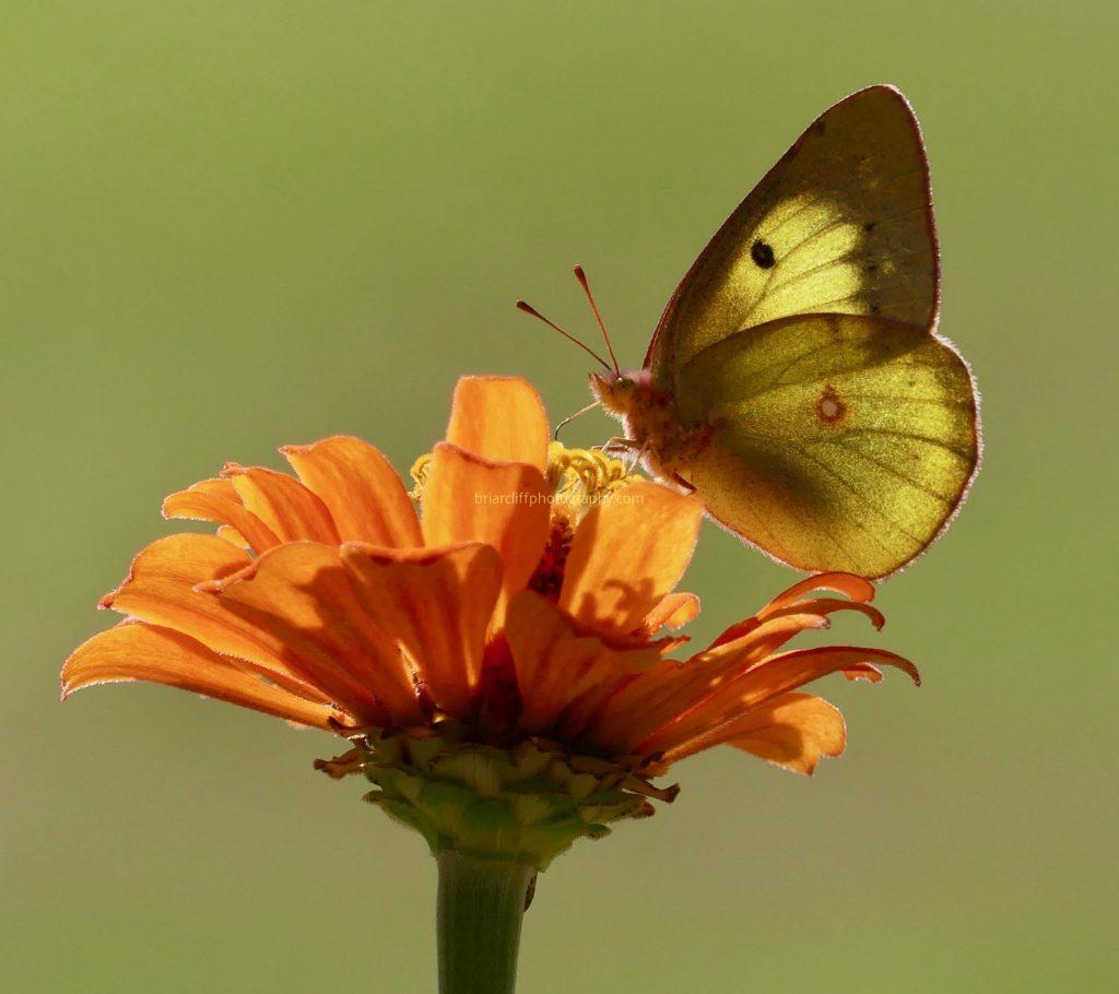 Orange sulphur butterfly on orange zinnia flower