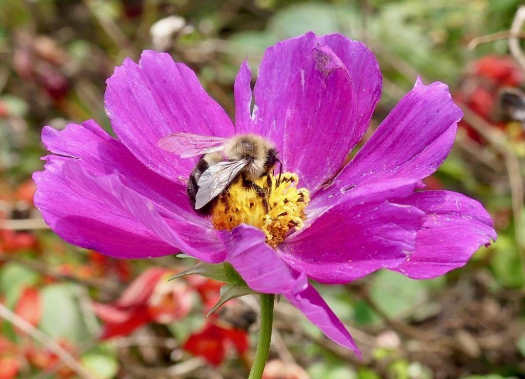 Bee on purple cosmos flower