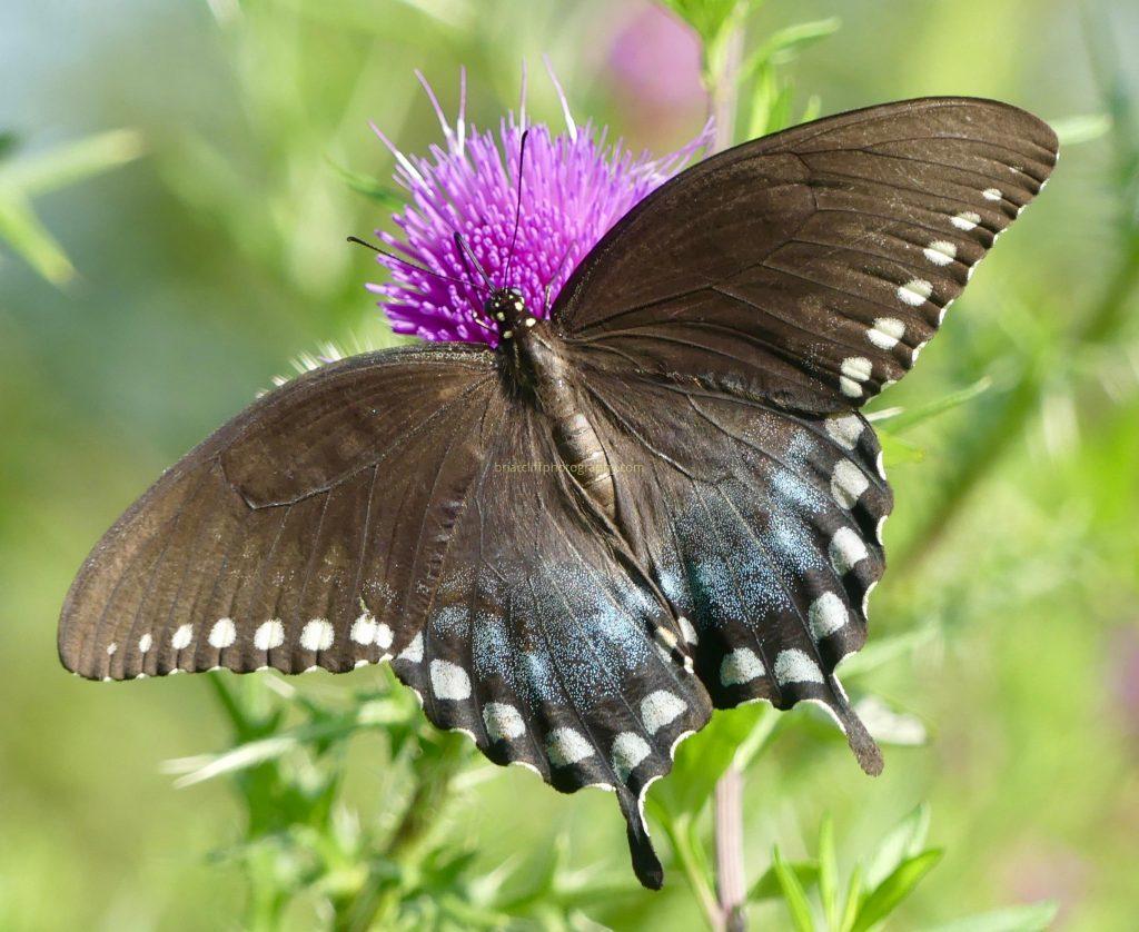 Female black swallowtail butterfly