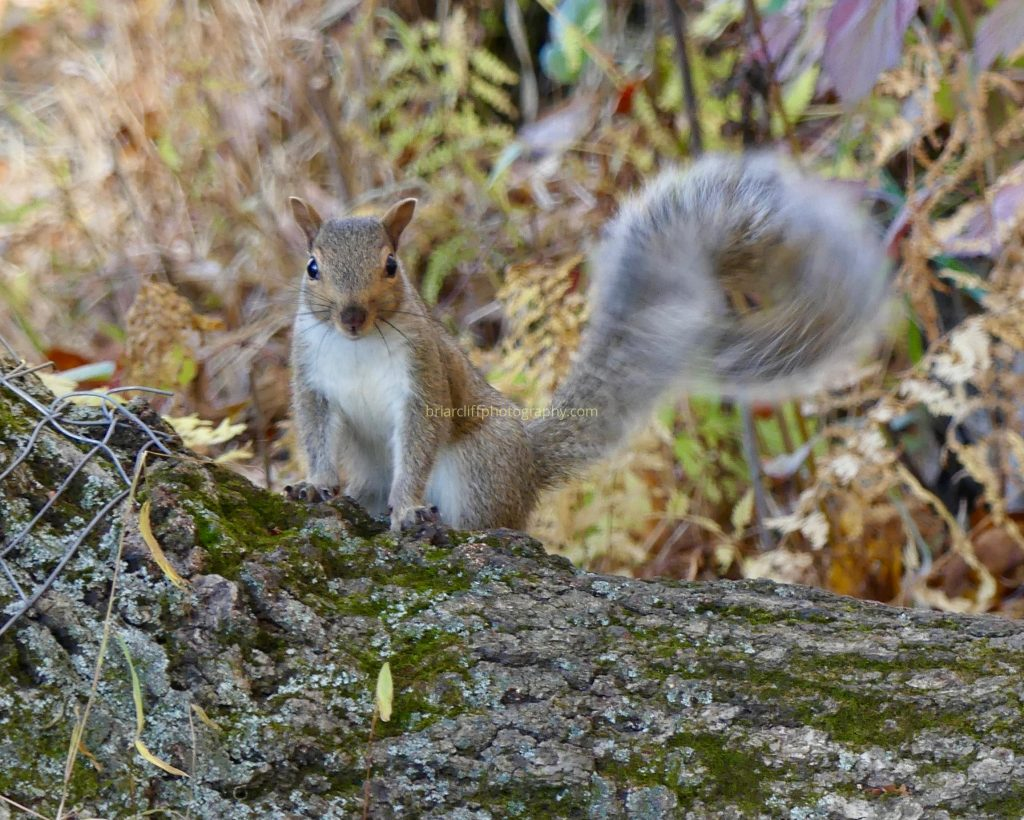 Squirrel tail swish