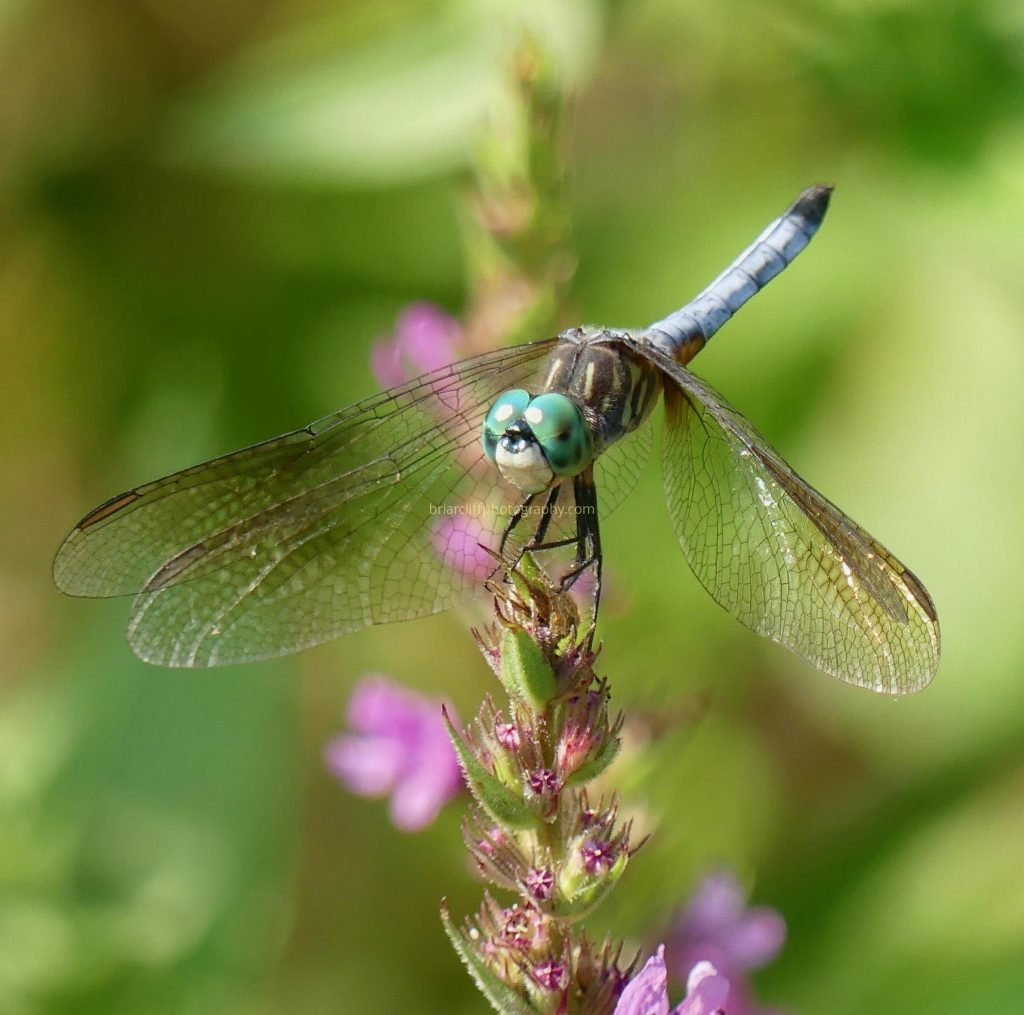 Blue dasher dragonfly on pink flower