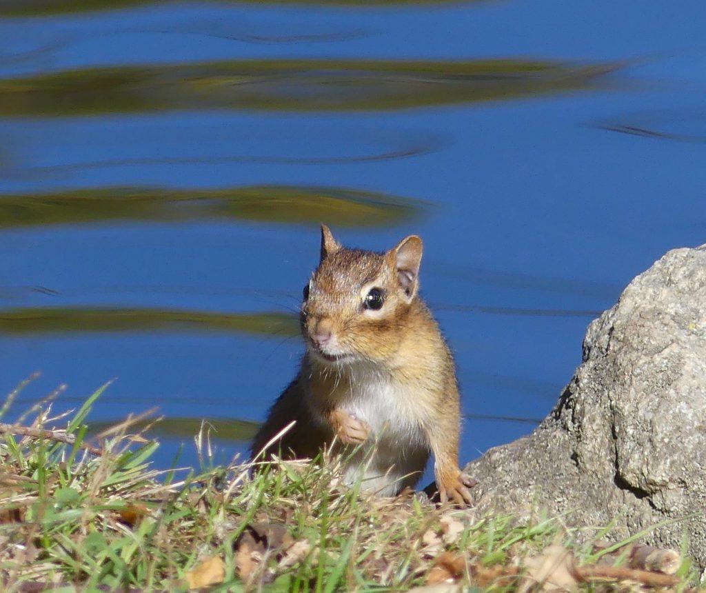 Chipmunk by lake