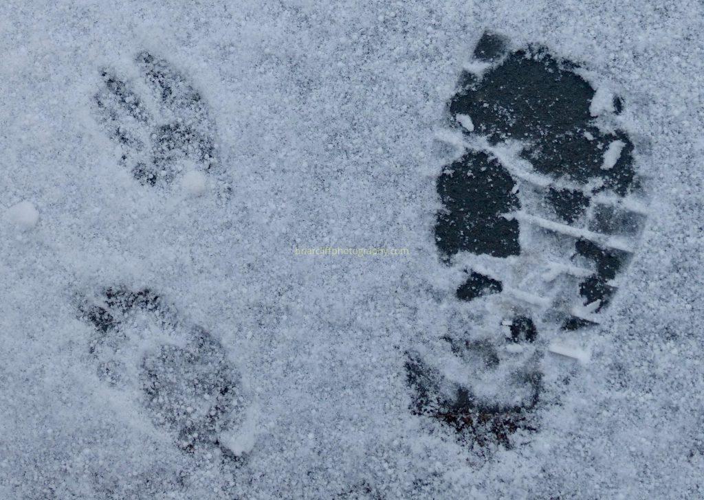 raccoon footprints