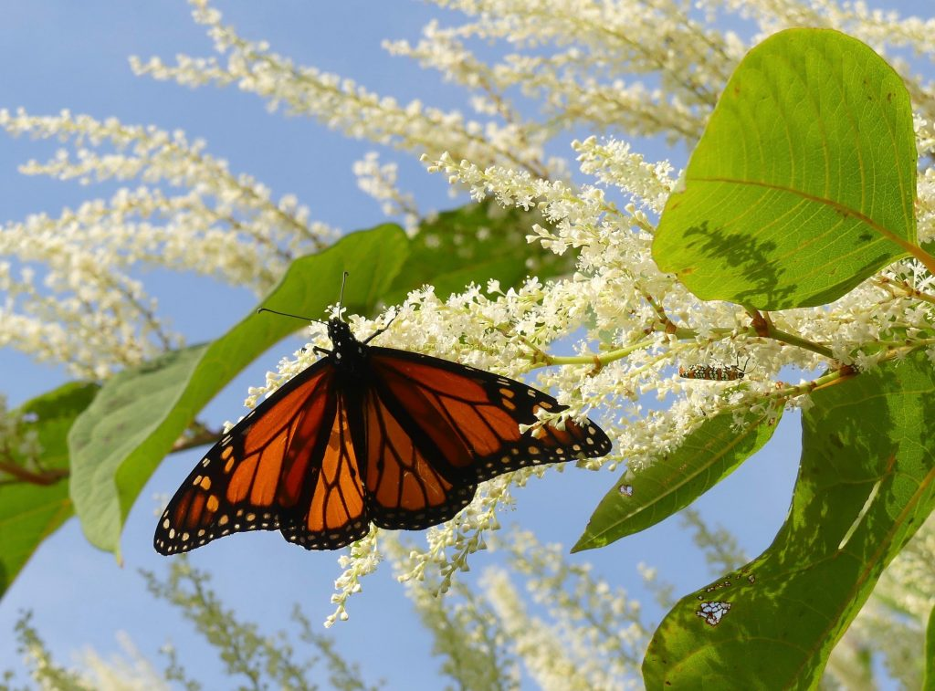 monarch, Ailanthus Webworm Moth