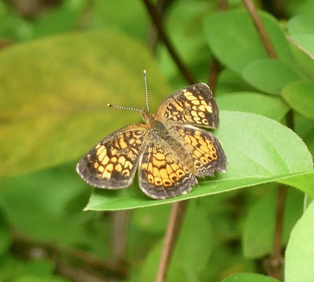 Orange crescent butterfly